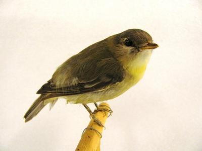 Tennessee Warbler (mount)