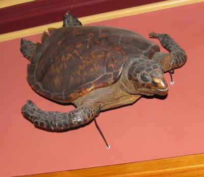 Atlantic Hawksbill Sea Turtle, Complete