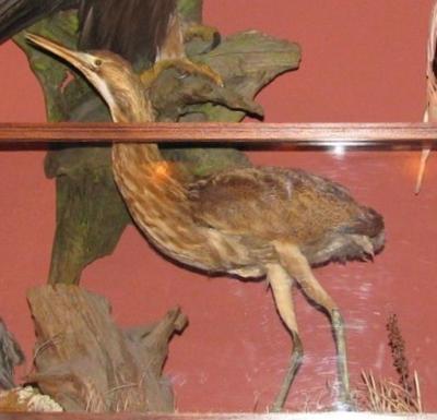Sandhill Crane, Female