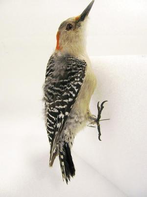 Red-bellied Woodpecker (mount)