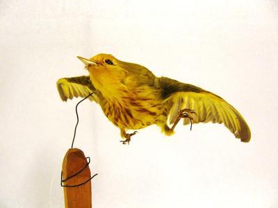 Yellow Warbler (mount)