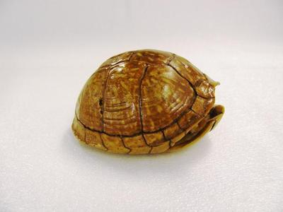 Box Turtle, Carapace & Plasteron