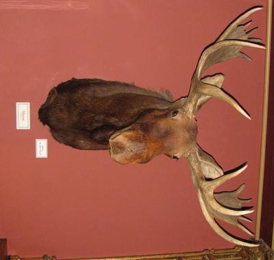 Moose Head (alces Alces)
