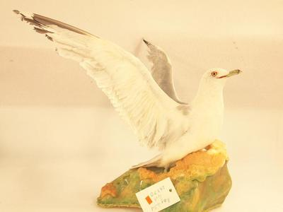 Ring-Billed Gull (mount)