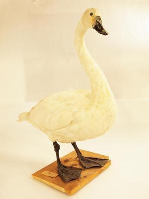Tundra Swan (mount)