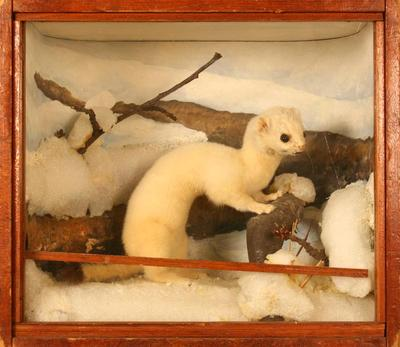 Weasel, Long-tailed, School Loan Collection