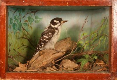 Woodpecker, Hairy, School Loan Collection