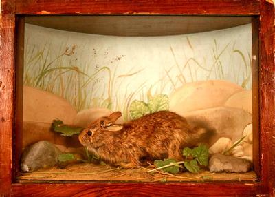 Rabbit, Cottontail, School Loan Collection