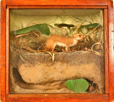 Weasel, Least, School Loan Collection