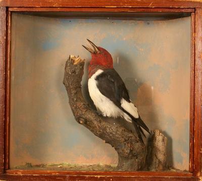 Woodpecker, Red-headed, School Loan Collection