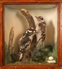 Woodpecker, Downy, School Loan Collection