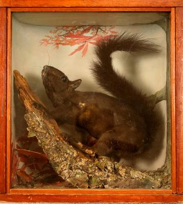 Squirrel, Gray (black Phase), School Loan Collection