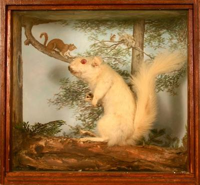 Squirrel, Red (albino), School Loan Collection