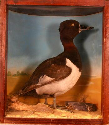 Duck, Ring-necked, School Loan Collection [green-wing Teal]