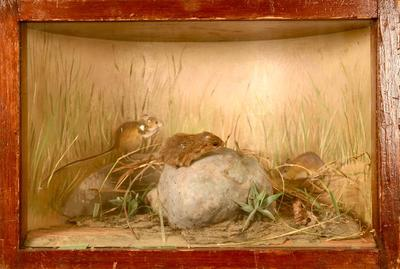 Mouse, Meadow-jumping, School Loan Collection