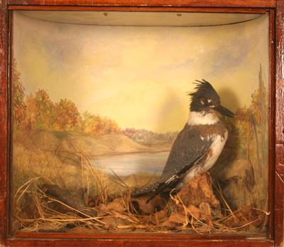 Belted Kingfisher, School Loan Collection, Mount