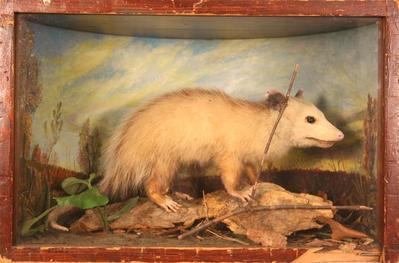 Opossum, School Loan Collection