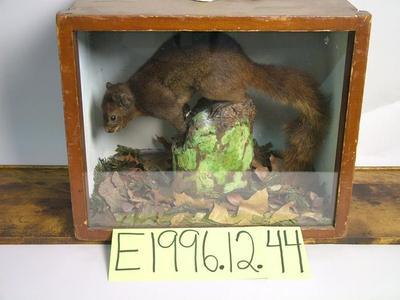 Squirrel, Gray, School Loan Collection