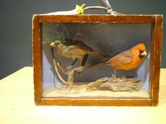 Cardinals, 2, Male And Female, School Loan Collection