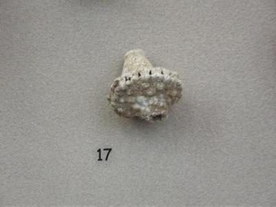 Fossil, Echinoderm, Crinoid Calix Actinocrinus