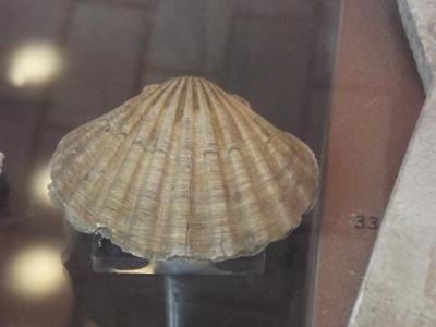 Fossil, Bivalve Scallop