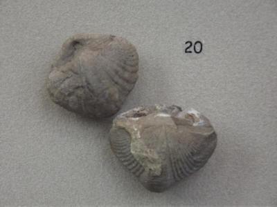 Fossil, Brachiopods Paraspirifer Granulifera (2)