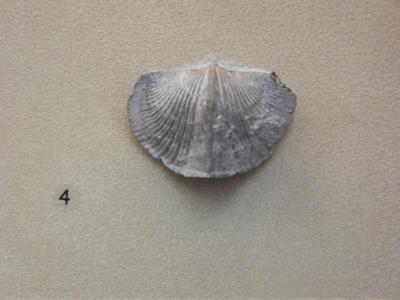 Fossil, Brachiopod Paraspirifer Bownockeri F758