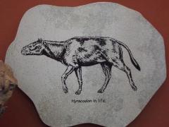 Fossil, Rhinoceros Ancestor Skull, Hyracodon