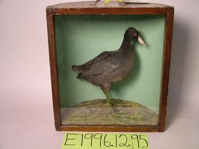 Coot, School Loan Collection