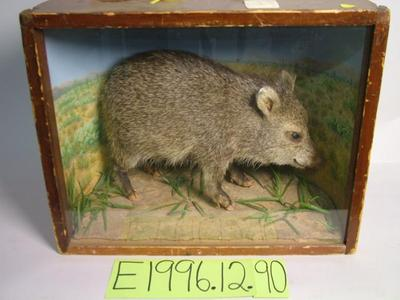 Peccary, School Loan Collection