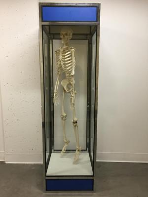 Skeleton, Human