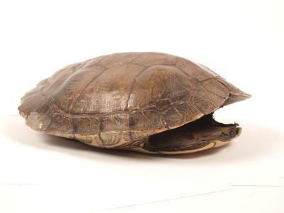 Map Turtle, Carapace & Plastron