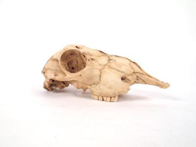 Sheep, Skull And Mandible