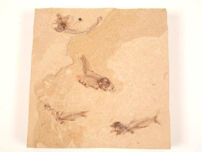 Fossil, Fish, 4 In Square Block