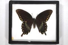 Butterfly, Papilio troilus
