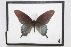 Butterfly, Battus philenor