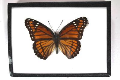 Butterfly, Limenitis archippus