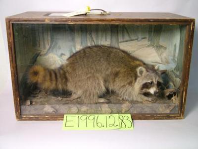 Raccoon, School Loan Collection