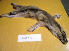 Bobcat Lynx Rufus Pelt