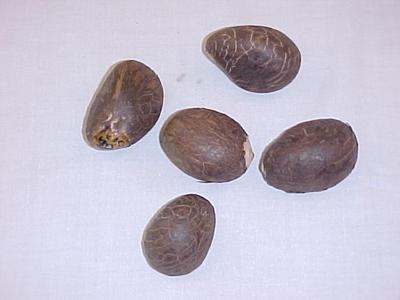Tagua Or Ivory Palm Nuts, 5
