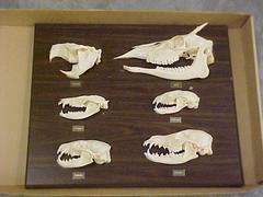 Skull Comparative Plaque, Deer, Beaver, Oppossum, Raccoon, Badger, Coyote