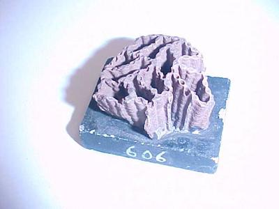 Chain Coral Fossil