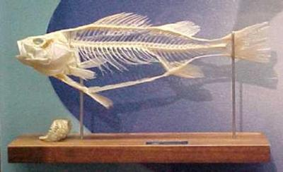 Perch Skeleton